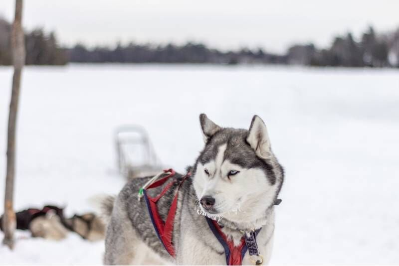 Luuppi Ruokkovuomalla - Koiravaljakkosafari
